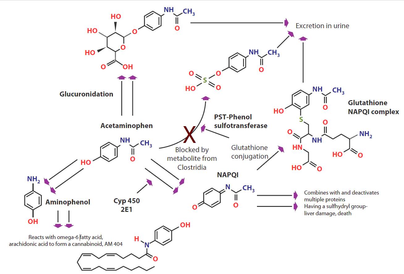 Metabolismo del Paracetamolo