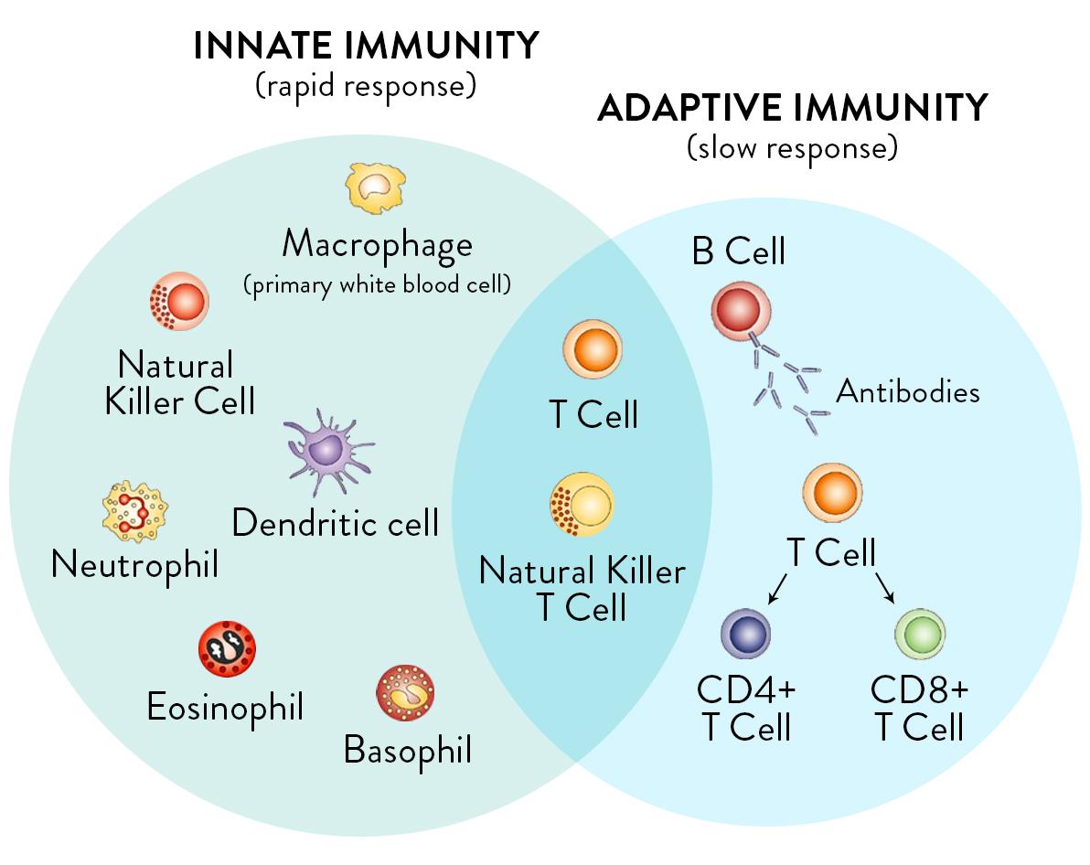 Immunità Adattativa e Immunità Innata.