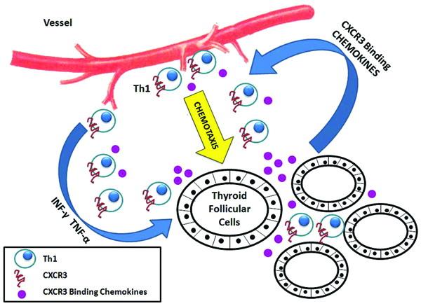 Ipotesi di attacco delle cellule tiroidee in una condizione autoimmune