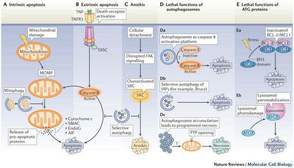 Processi di Autofagia Mitocondriale