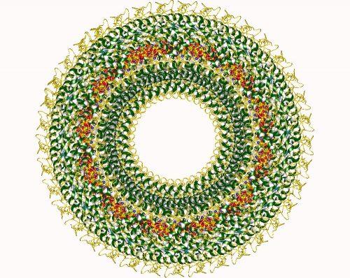 Nucleocapside del Virus del Morbillo.