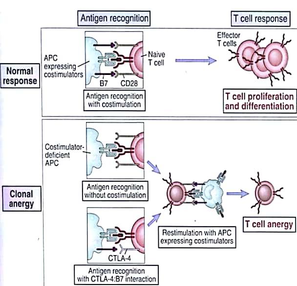 Anergia, nota anche come anergia clonale