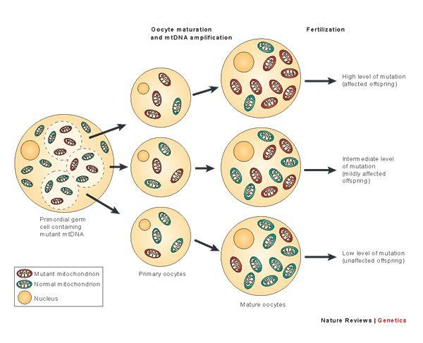 DNA mitocondriale mutato e DNA mitocondriale normale e come possono essere trasmessi alla discendenza tramite l'oocita.